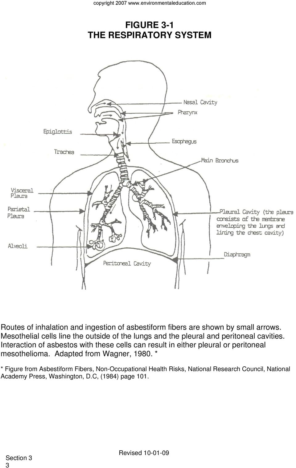 Interaction of asbestos with these cells can result in either pleural or peritoneal mesothelioma. Adapted from Wagner, 1980.