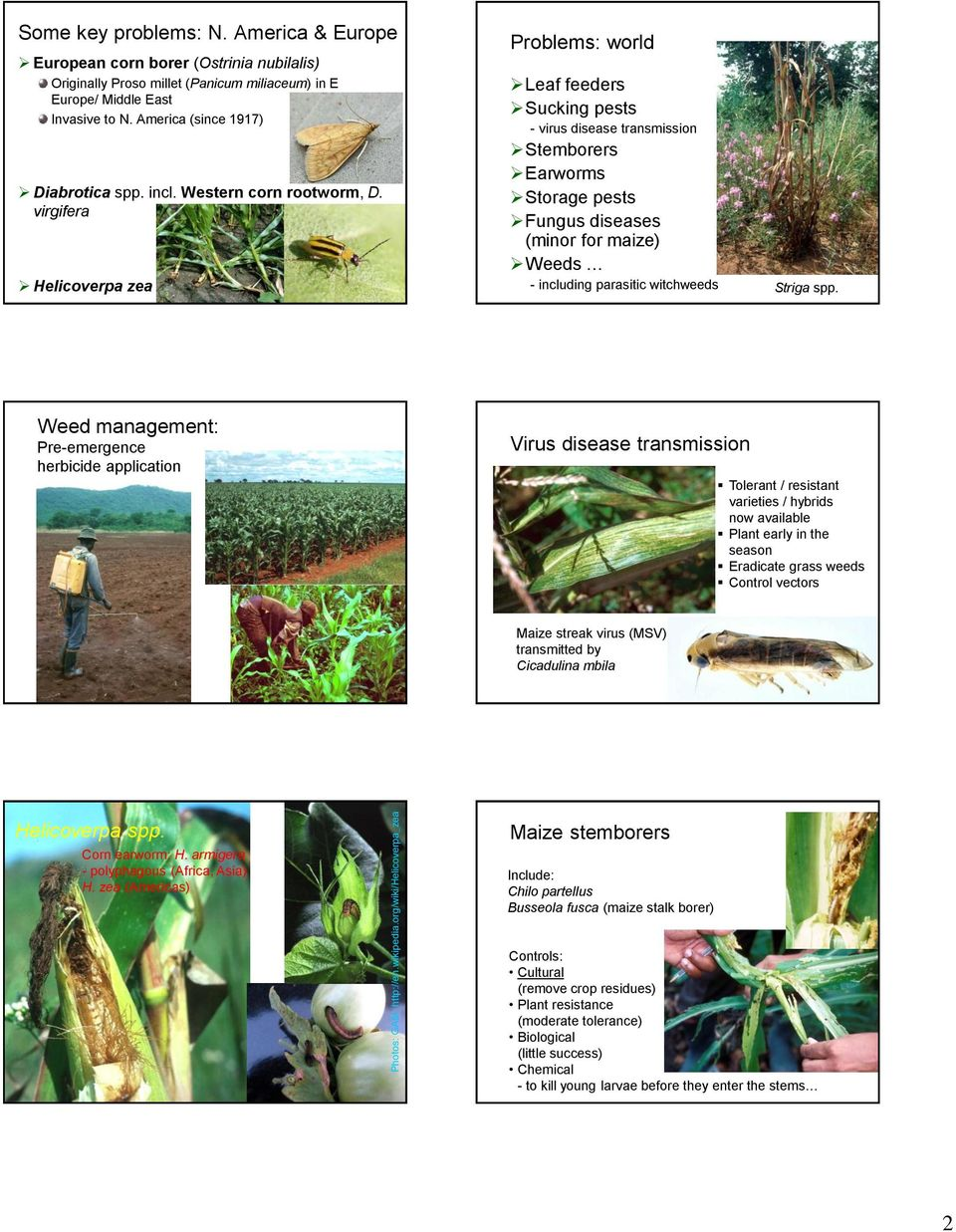 Western corn rootworm, D.