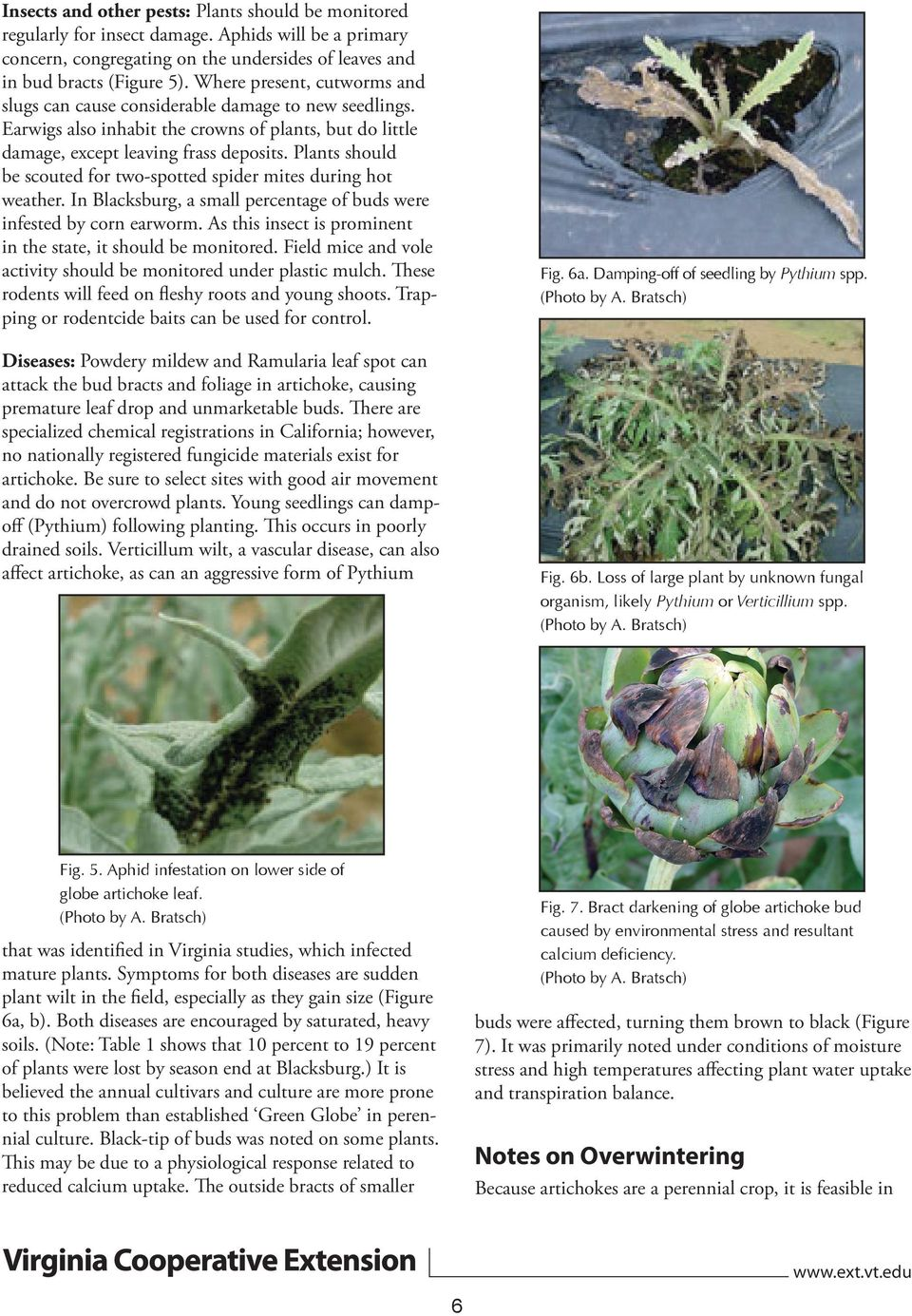Plants should be scouted for two-spotted spider mites during hot weather. In Blacksburg, a small percentage of buds were infested by corn earworm.