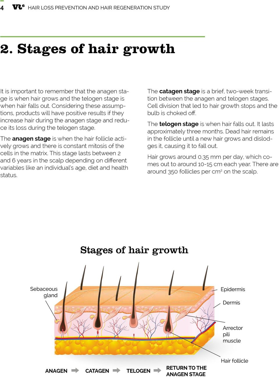 The anagen stage is when the hair follicle actively grows and there is constant mitosis of the cells in the matrix.