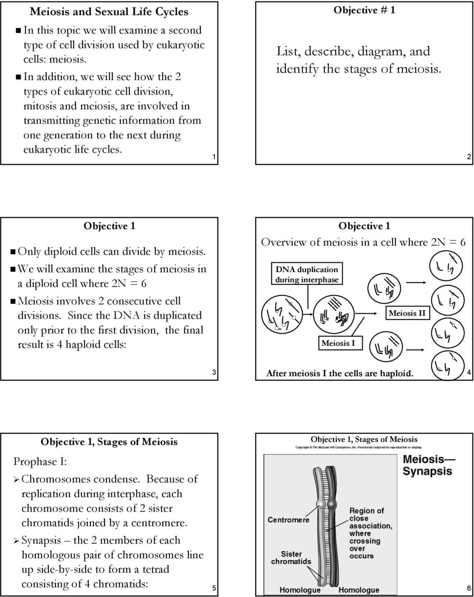 List describe diagram and identify the stages of meiosis pdf 1 objective 1 list describe diagram and identify the stages ccuart Image collections