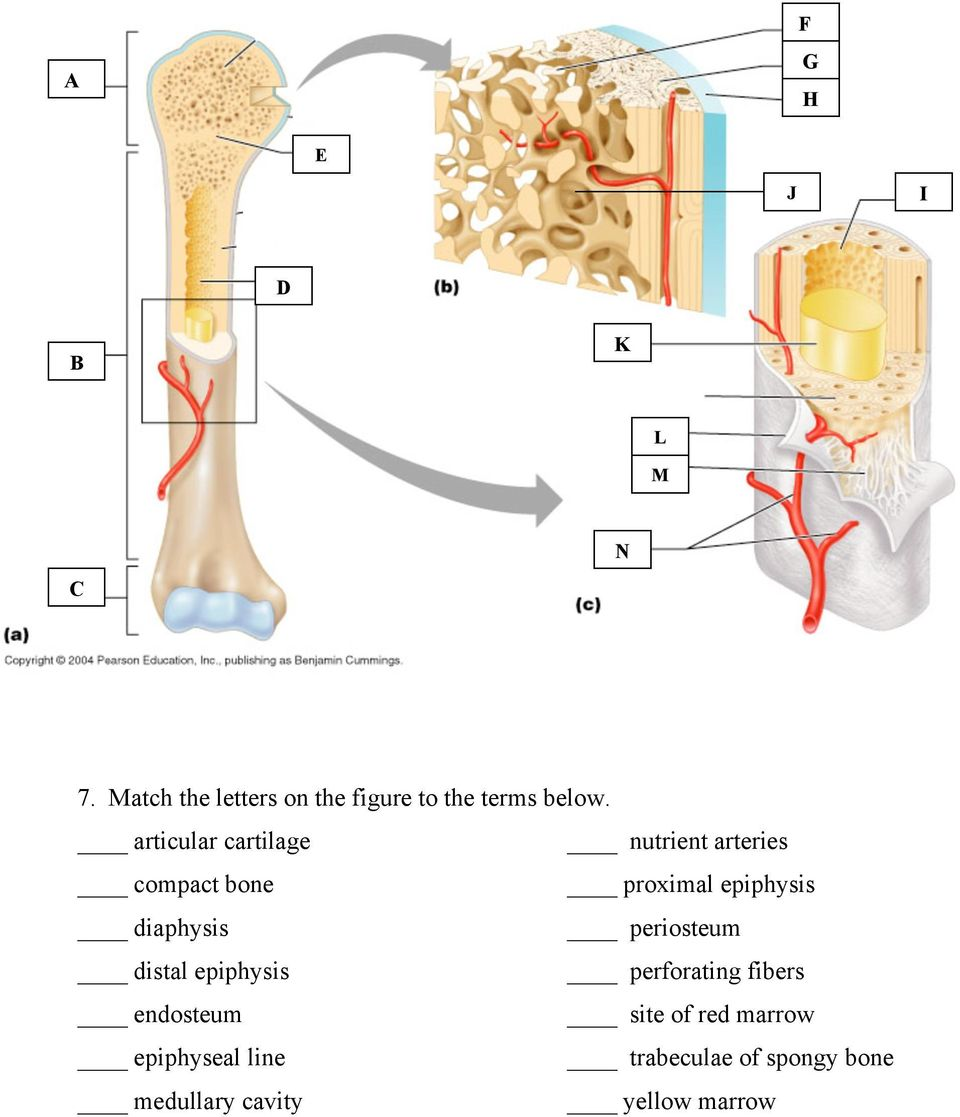 articular cartilage nutrient arteries compact bone proximal epiphysis