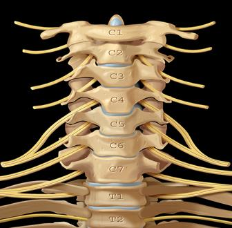 Radiographic Anatomy MRI Anatomy-Normal Cervical Spine Dorsal Spine