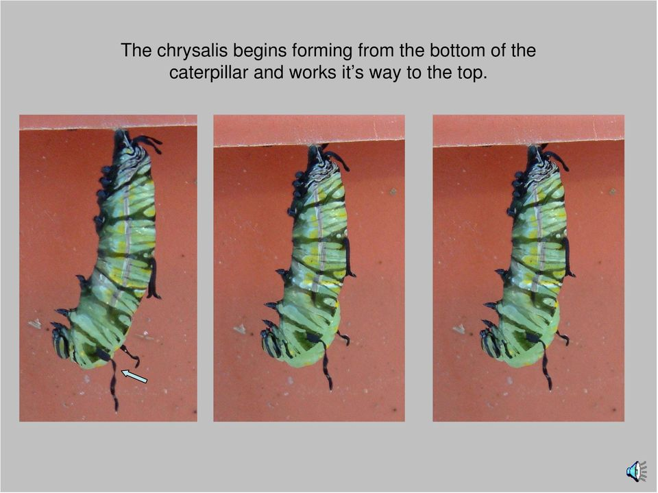 of the caterpillar and