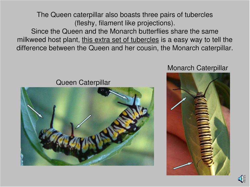 Since the Queen and the Monarch butterflies share the same milkweed host plant, this