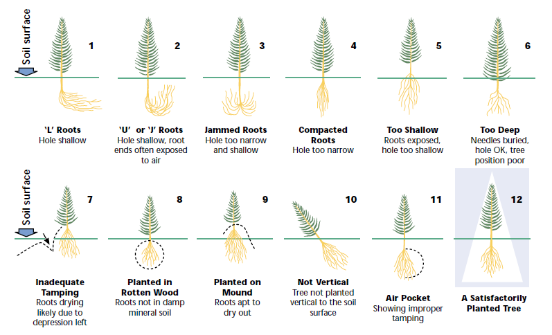 Refer to examples 1 through 11 in Figure 1 to avoid the many common planting mistakes associated with rooted stock.