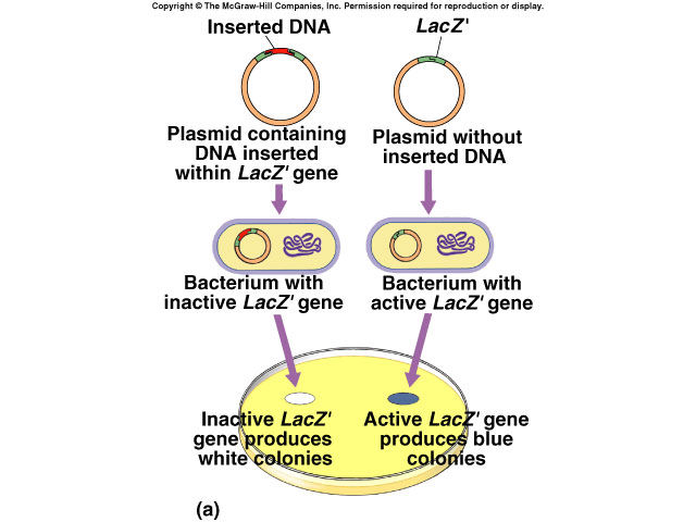 Copy DNA Plasmids o Small, self-replicating circular DNA molecules. Insert DNA sequence into plasmid. Vector = vehicle into organism. o Transformation Insert recombinant plasmid into bacteria.