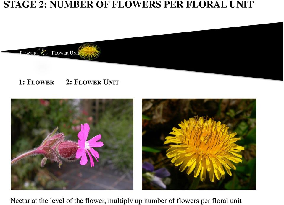 FLOWER UNIT Nectar at the level of the