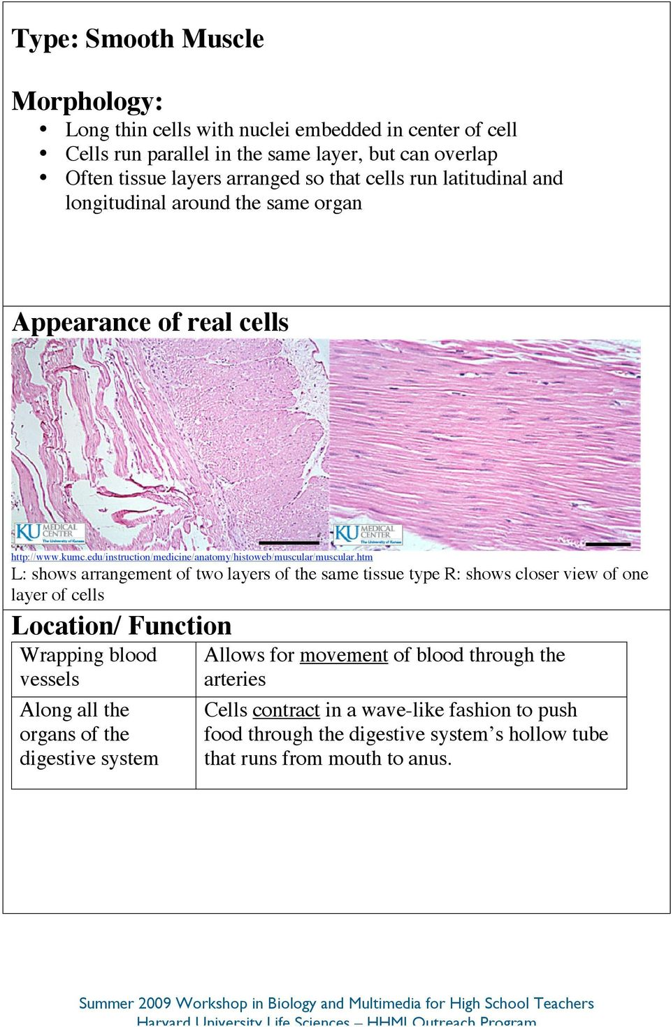 htm L: shows arrangement of two layers of the same tissue type R: shows closer view of one layer of cells Wrapping blood vessels Along all the organs of the