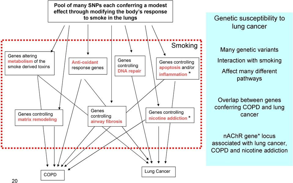 genetic variants Interaction with smoking Affect many different pathways Genes controlling matrix remodeling Genes controlling airway fibrosis Genes controlling