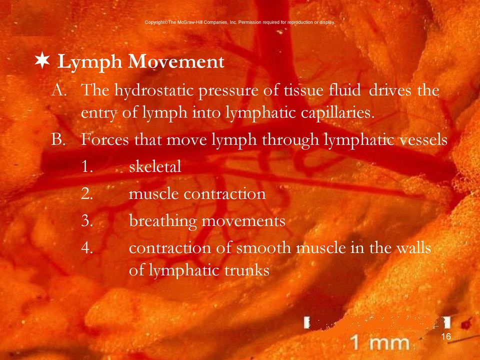 lymphatic capillaries. B.