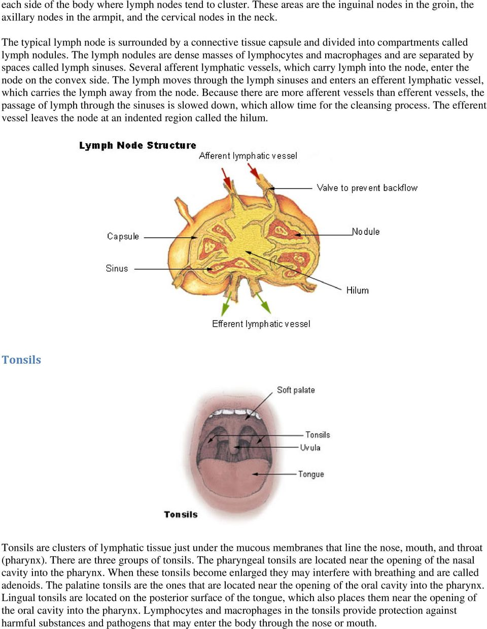 The lymph nodules are dense masses of lymphocytes and macrophages and are separated by spaces called lymph sinuses.