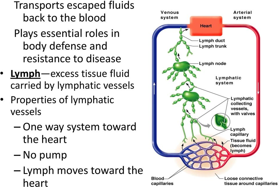 fluid carried by lymphatic vessels Properties of lymphatic