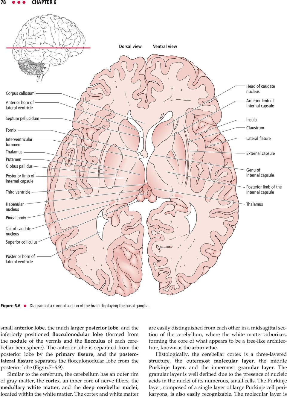 of the internal capsule Thalamus Pineal body Tail of caudate nucleus Superior colliculus Posterior horn of lateral ventricle Figure 6.