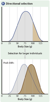 Stabilizing Selection Stabilizing selection is natural selection that favours intermediate phenotypes and acts against extreme variants. Figure 9.