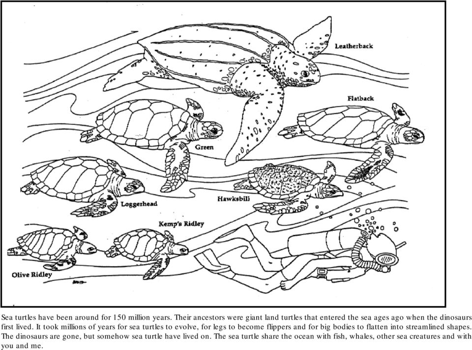 It took millions of years for sea turtles to evolve, for legs to become flippers and for big bodies to flatten