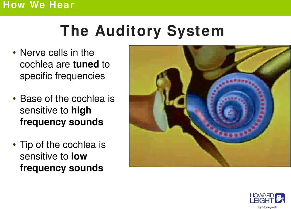 sensitive to high frequency sounds Tip of the