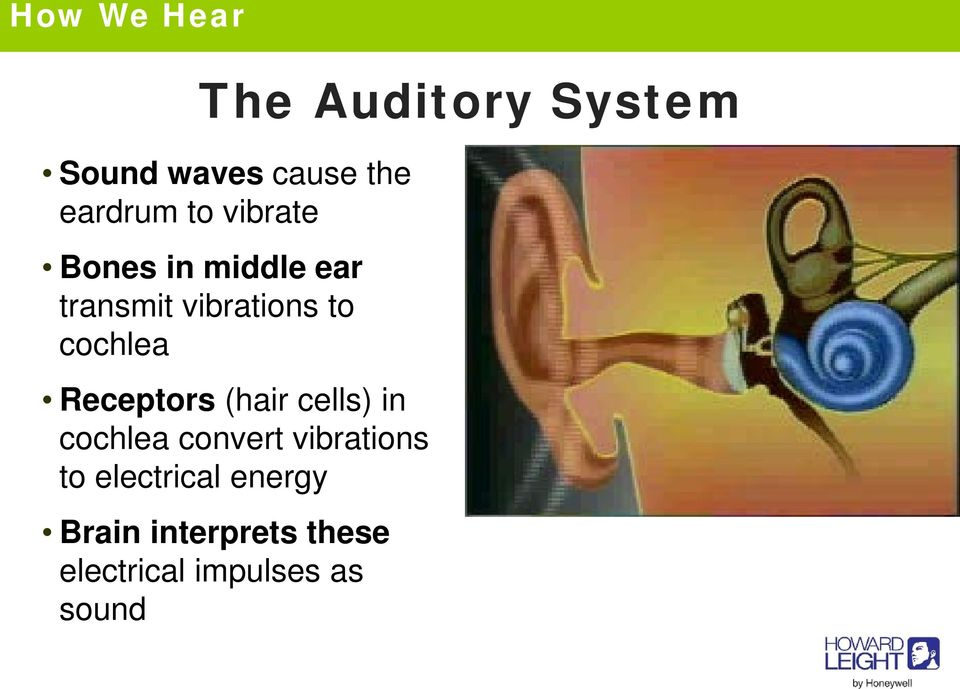 Receptors (hair cells) in cochlea convert vibrations to