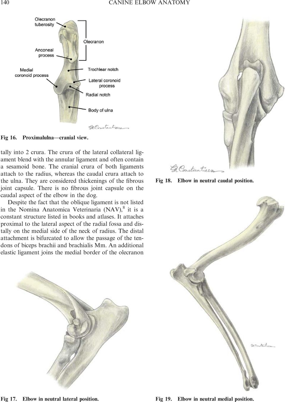 There is no fibrous joint capsule on the caudal aspect of the elbow in the dog.