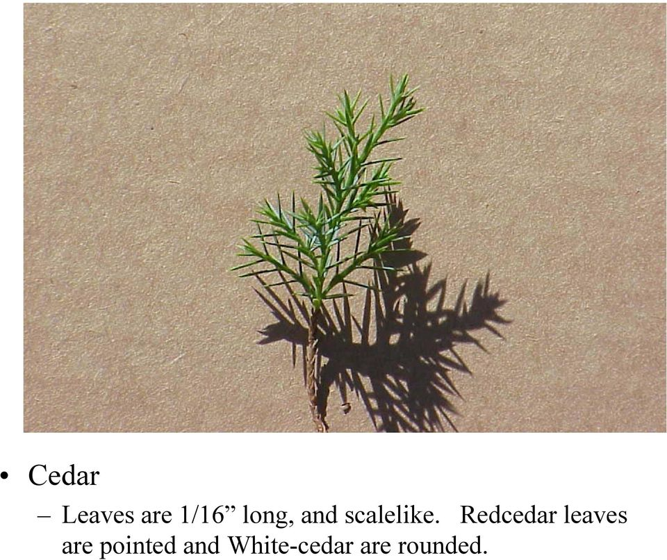 Redcedar leaves are