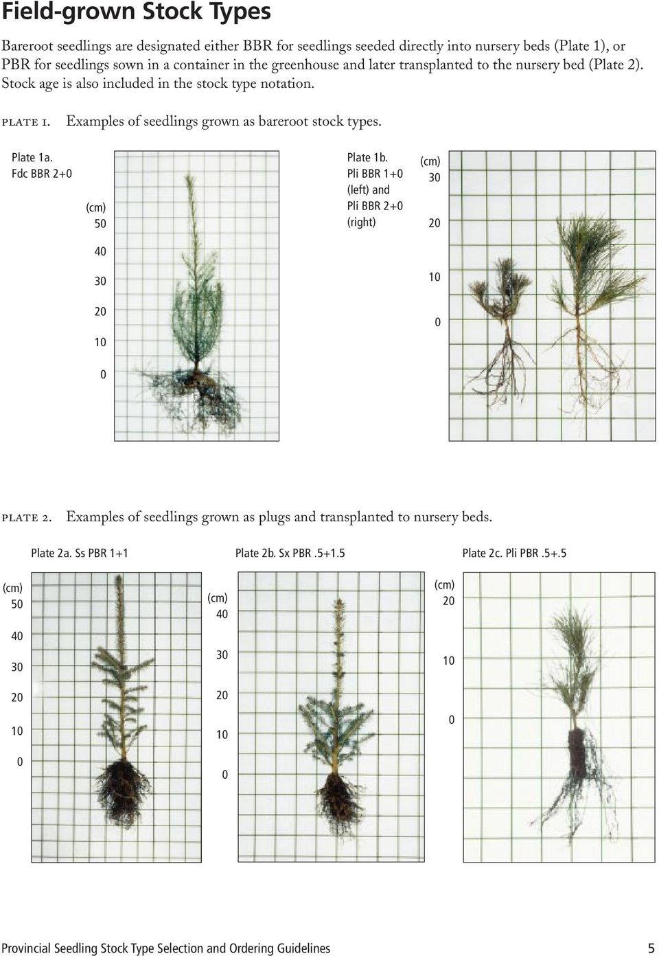 Examples of seedlings grown as bareroot stock types. Plate 1a. Fdc BBR 2+0 (cm) 50 Plate 1b.