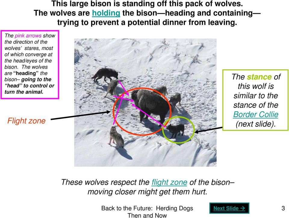 The pink arrows show the direction of the wolves stares, most of which converge at the head/eyes of the bison.