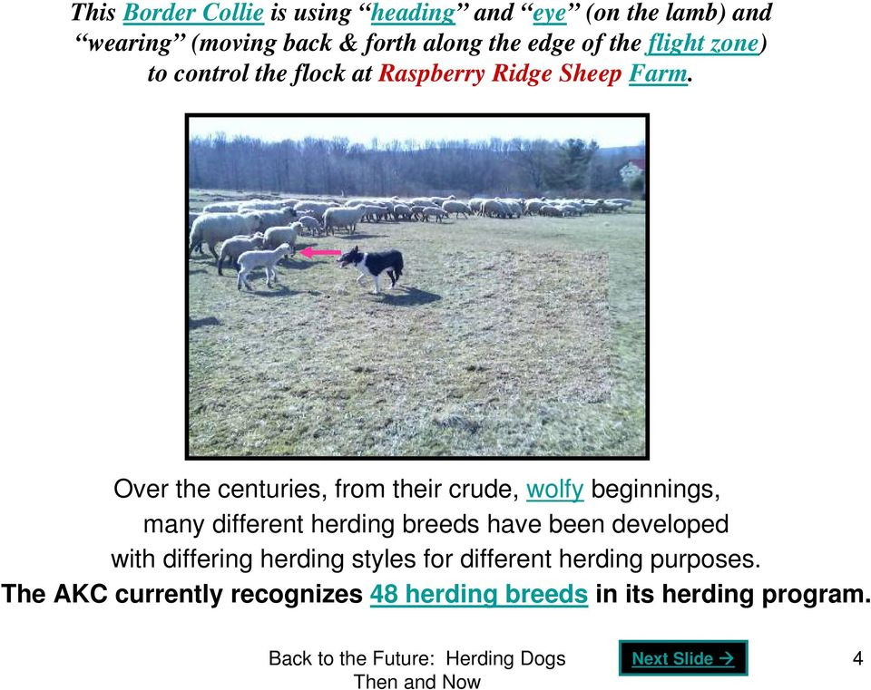 Over the centuries, from their crude, wolfy beginnings, many different herding breeds have been