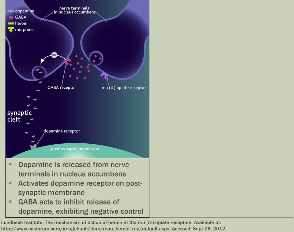of dopamine release More dopamine is present to bind to the post-synaptic membrane Lundbeck Institute.