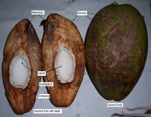 Reference Coconut (Cocos nucifera) FIGURE 3-2 Coconut Fruit