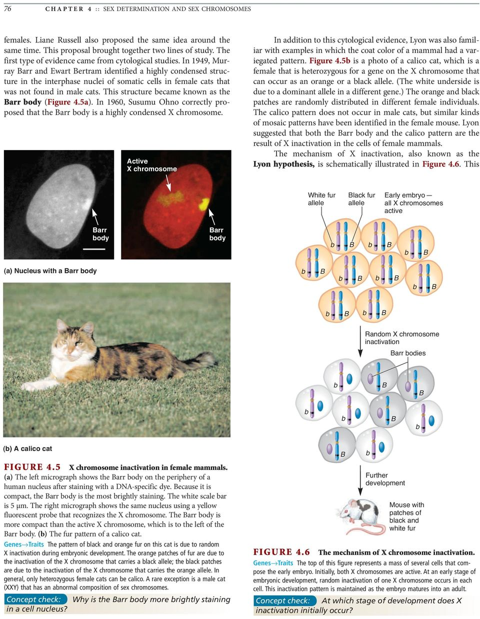In 1949, Murray arr and Ewart ertram identified a highly condensed structure in the interphase nuclei of somatic cells in female cats that was not found in male cats.