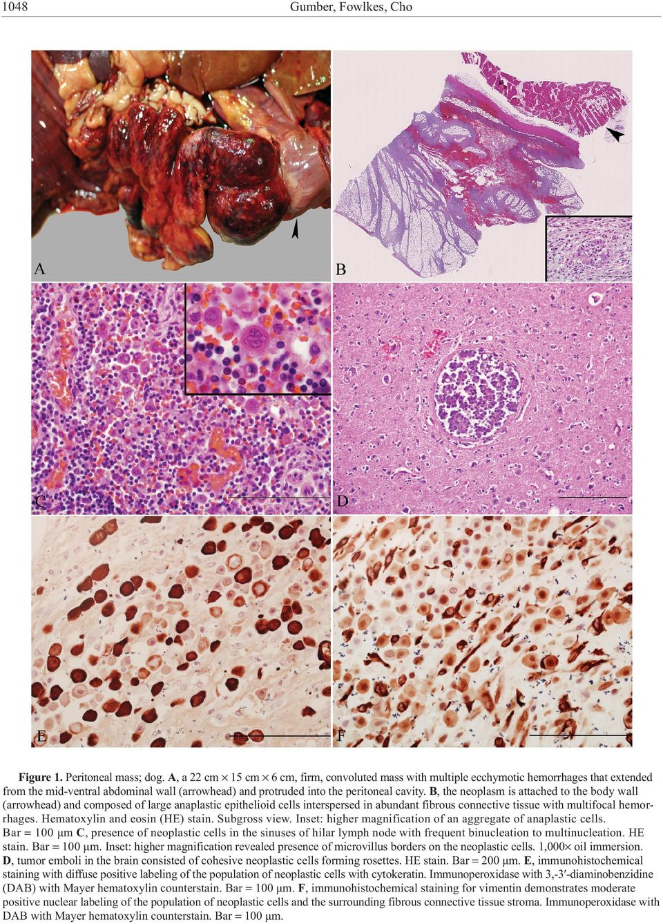 B, the neoplasm is attached to the body wall (arrowhead) and composed of large anaplastic epithelioid cells interspersed in abundant fibrous connective tissue with multifocal hemorrhages.