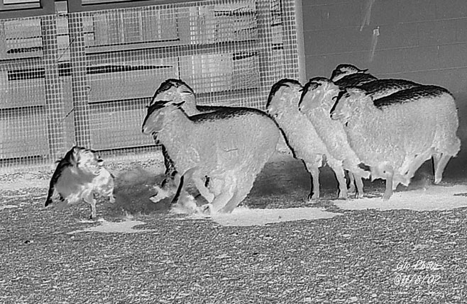104 d EXAMINED LIVES affiliation as the next step. Other Aussie people saw AKC recognition as the road to perdition for any working breed.