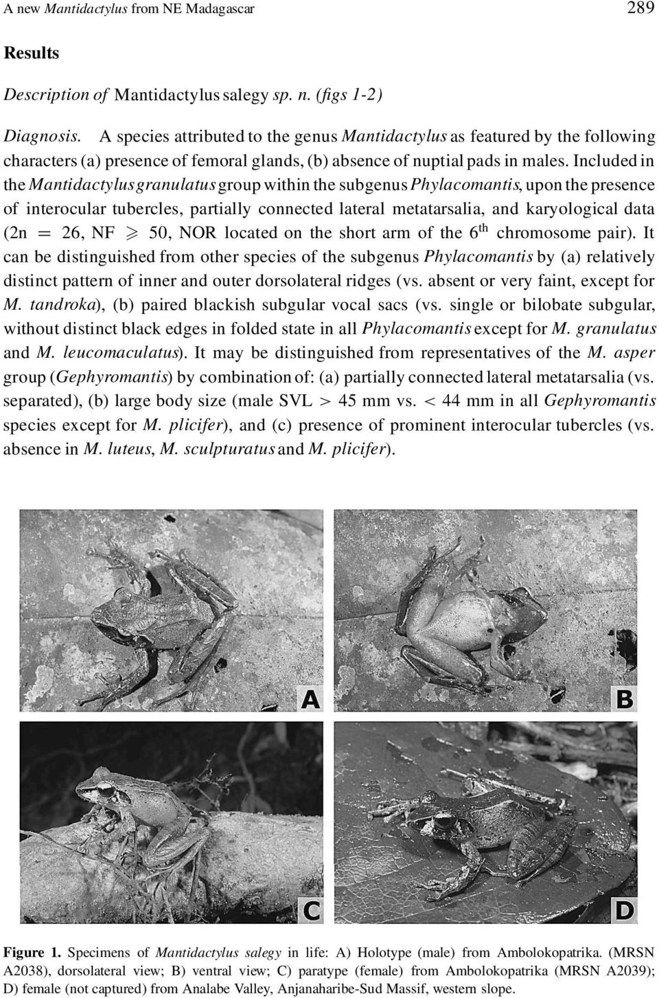 Included in the Mantidactylusgranulatus group within the subgenus Phylacomantis, upon the presence of interocular tubercles, partially connected lateral metatarsalia, and karyological data (2n D 26,