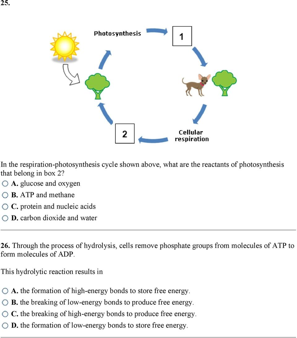 Through the process of hydrolysis, cells remove phosphate groups from molecules of ATP to form molecules of ADP. This hydrolytic reaction results in A.