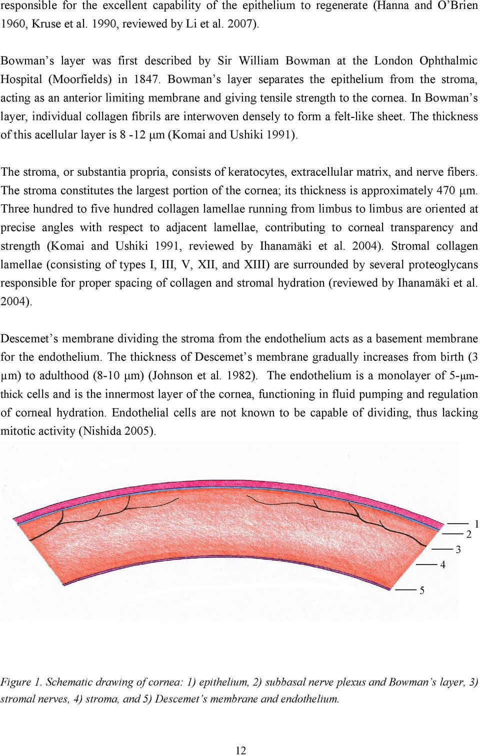 Bowman s layer separates the epithelium from the stroma, acting as an anterior limiting membrane and giving tensile strength to the cornea.
