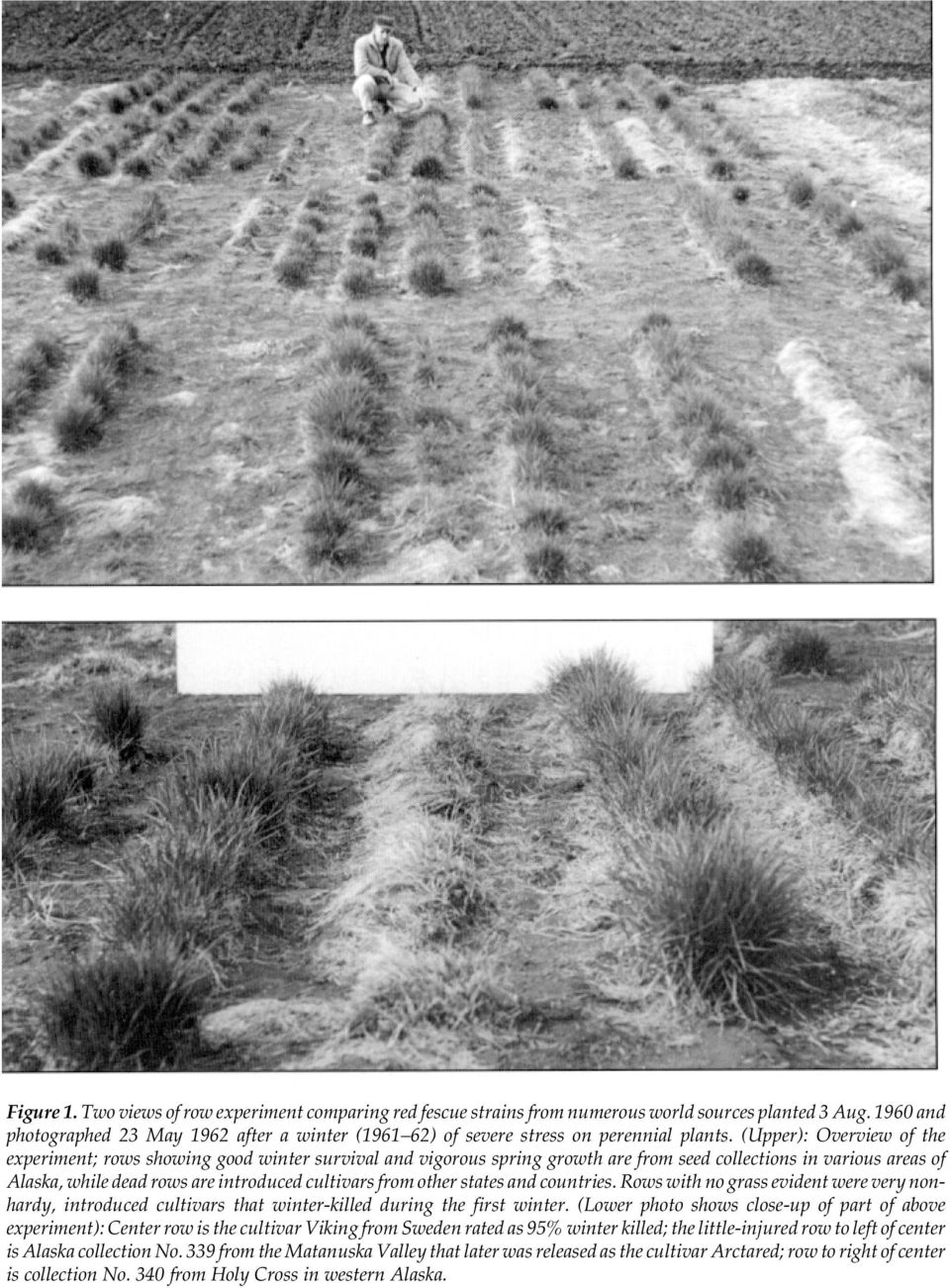 (Upper): Overview of the experiment; rows showing good winter survival and vigorous spring growth are from seed collections in various areas of Alaska, while dead rows are introduced cultivars from