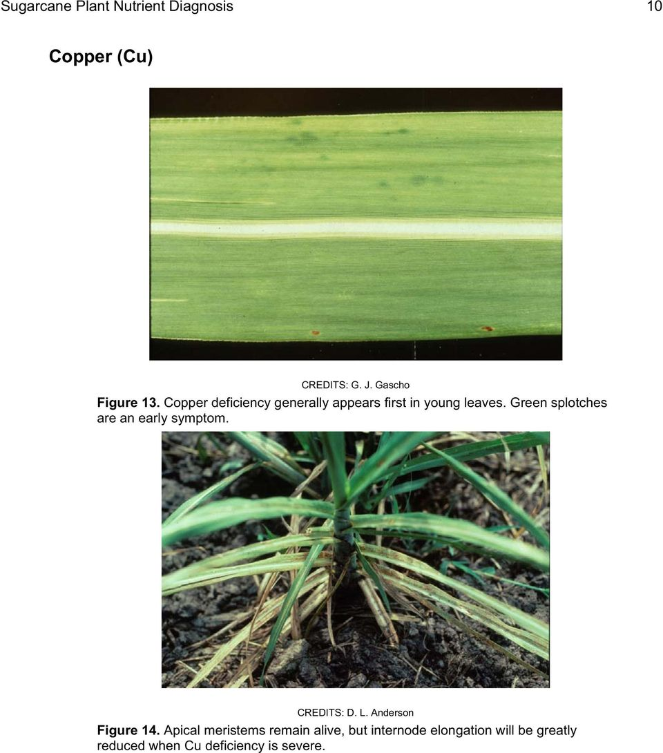 Copper deficiency generally appears first in young leaves.