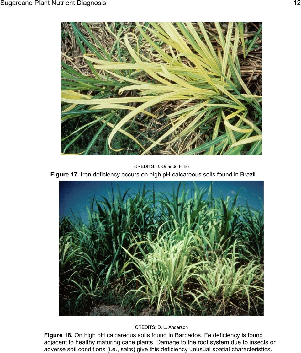 On high ph calcareous soils found in Barbados, Fe deficiency is found adjacent to healthy maturing