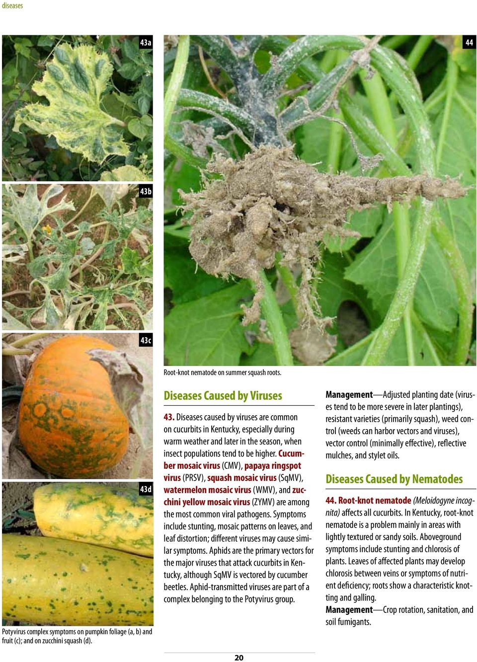 Cucumber mosaic virus (CMV), papaya ringspot virus (PRSV), squash mosaic virus (SqMV), watermelon mosaic virus (WMV), and zucchini yellow mosaic virus (ZYMV) are among the most common viral pathogens.