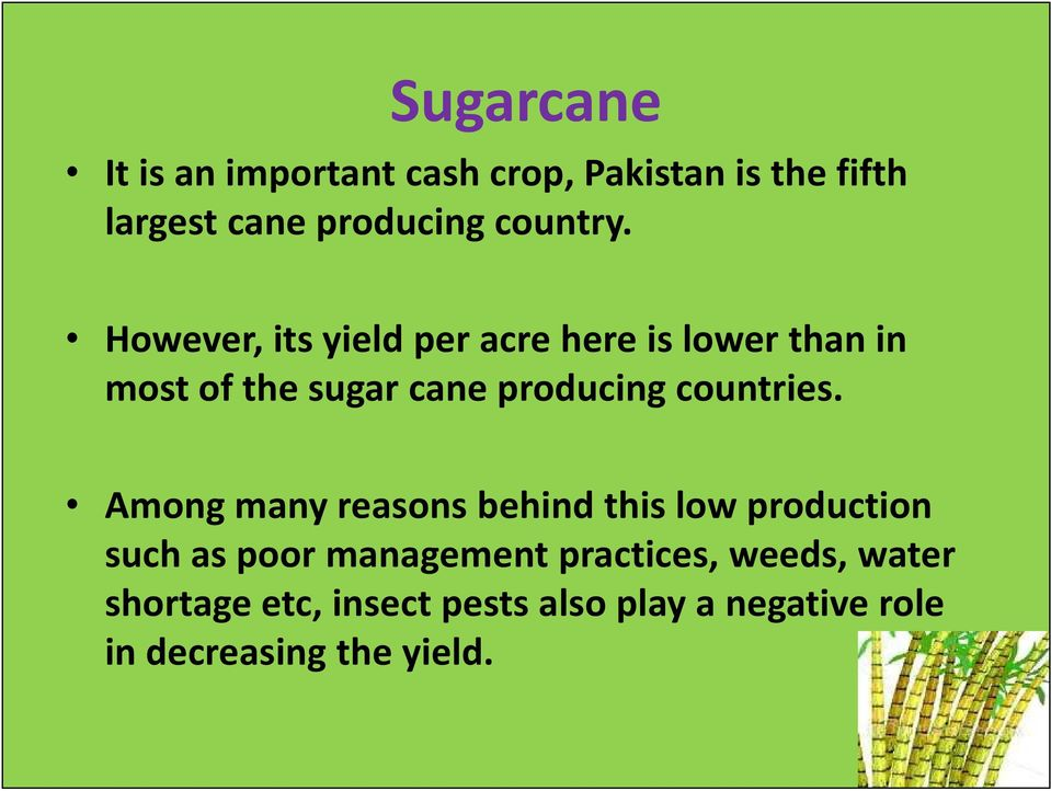However, its yield per acre here is lower than in most of the sugar cane producing