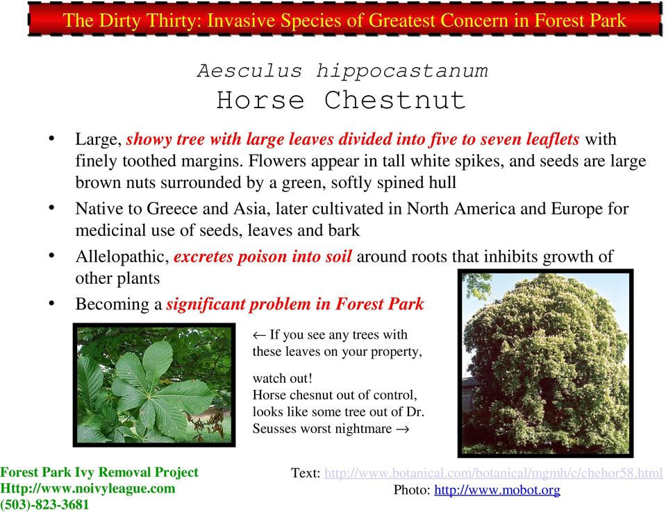 medicinal use of seeds, leaves and bark Allelopathic, excretes poison into soil around roots that inhibits growth of other plants Becoming a significant problem in Forest Park If you