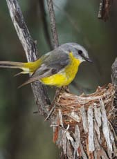 treetops. Spotted pardalotes breed in burrows excavated into creek banks or cliffs. They have also been known to use nest boxes and hanging baskets.