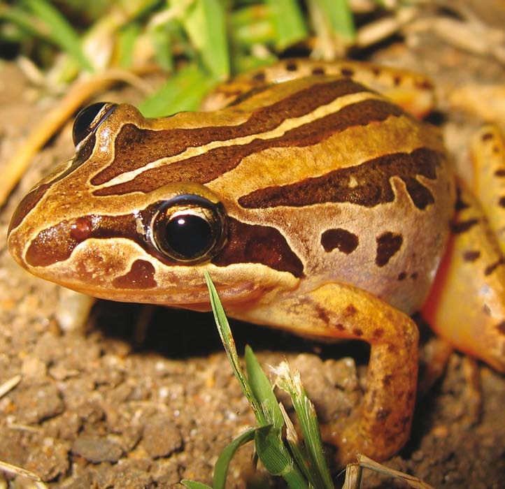 Frogs 48 / 49 In Australia, we have three main native frog families. They are the Myobatrachidae (or ground frogs), the Hylidae (tree frogs), and the tropical Microhylidae.