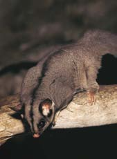 A medium-sized, thick-set, nocturnal and arboreal marsupial, they have grey fur on the head, back and sides. Black fur around the eyes, muzzle and sometimes along centre of forehead.