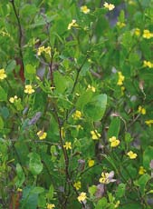 Burgan Kunzea ericoides Size: up to 7m This dense, fast growing shrub is found mainly along river and creek banks. Ringtail possums and birds often use it for shelter and nesting.