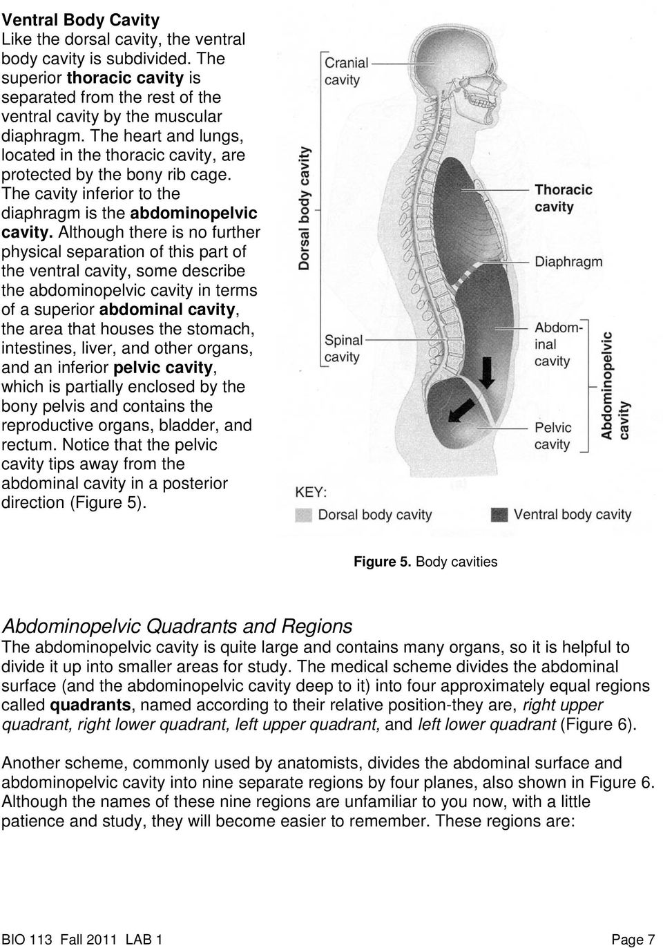 Although there is no further physical separation of this part of the ventral cavity, some describe the abdominopelvic cavity in terms of a superior abdominal cavity, the area that houses the stomach,
