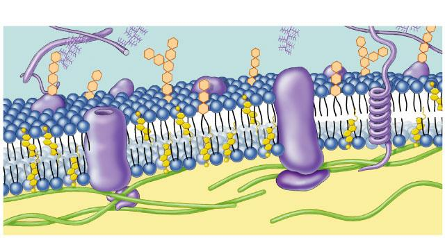 Cell membrane defines cell Cell membrane separates living cell from aqueous environment thin barrier = 8nm thick Controls traffic in & out of the cell allows some substances to cross more easily than