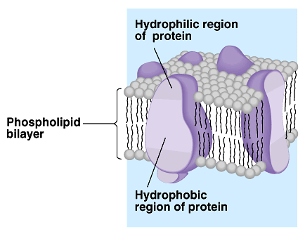 hydrophilic (polar) Membrane fat composition varies Fat composition affects flexibility membrane must be fluid & flexible about as fluid as thick salad oil % unsaturated fatty acids in phospholipids