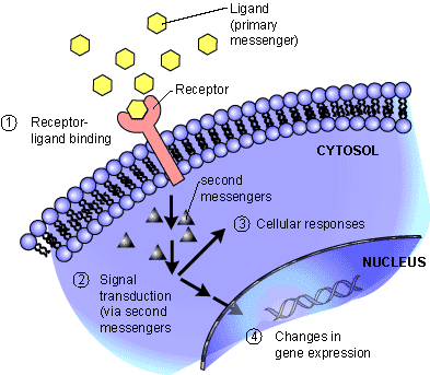 Channel proteins Integral protein: embedded across bi-layer Allows for movement of molecules across cell membrane Protein Pumps Integral protein Transports molecules across