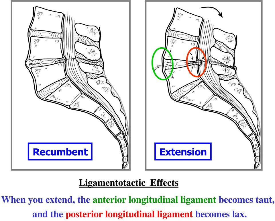 longitudinal ligament becomes taut, and